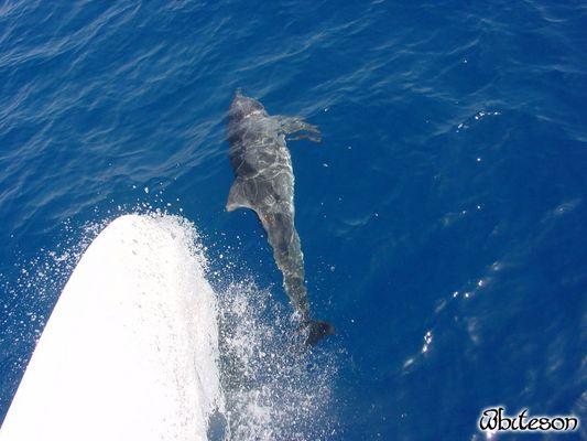 Nur ein Delphin