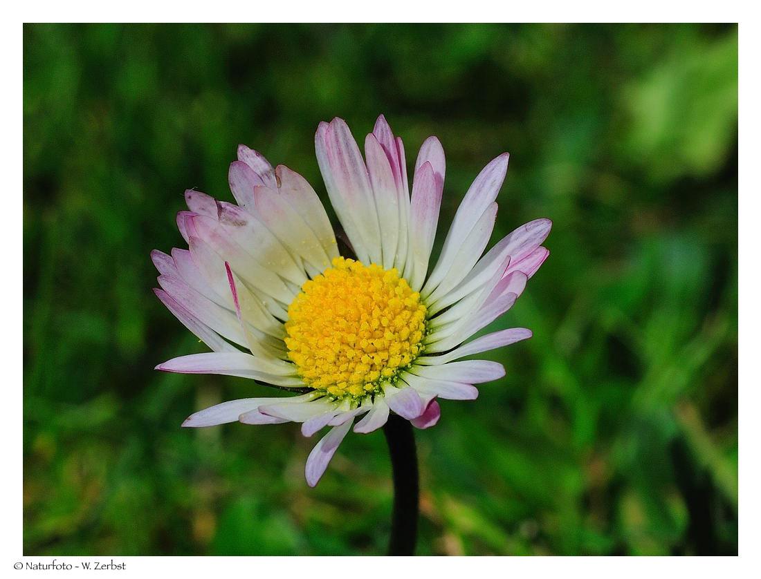 ---- Nur ein Gänseblümchen ---- ( Bellis perennis )