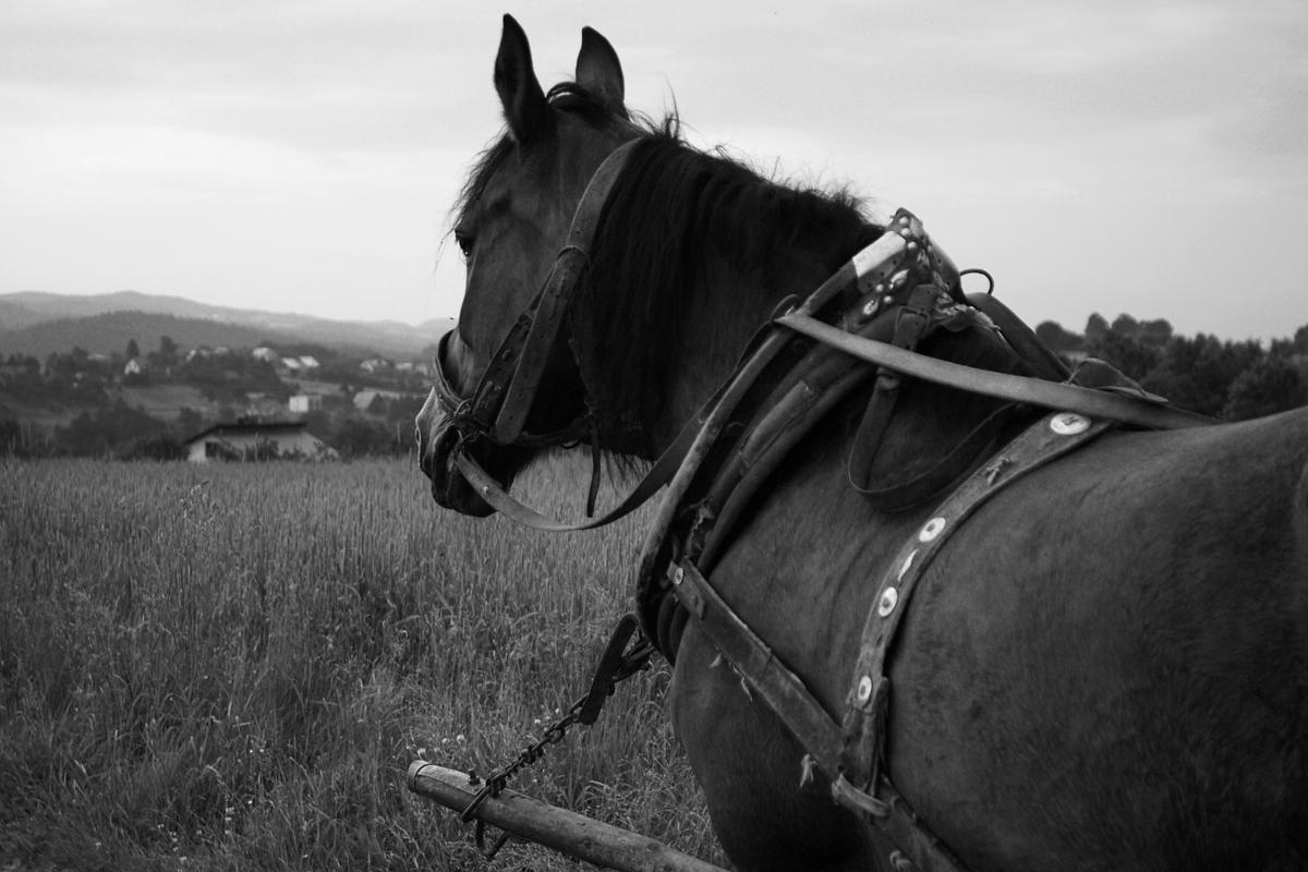 Nur ein Pferd
