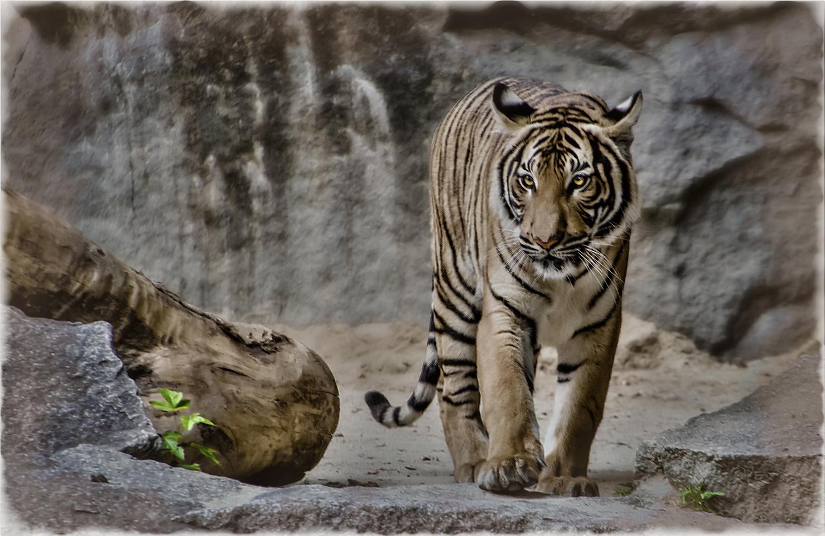 Nur ein Tiger