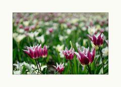 [ Nur ein Tulpenbild... ]