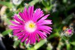 ...nur eine Blüte... (4)