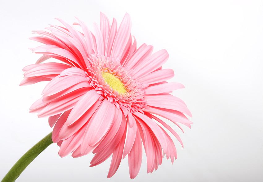 ....nur eine Blume