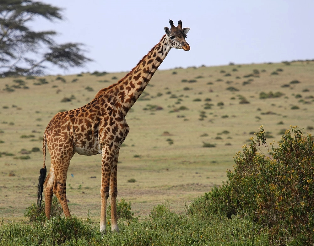 Nur eine Giraffe