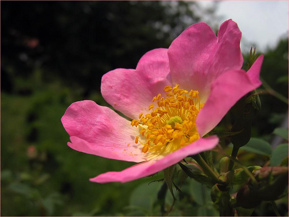 ~~ Nur eine Rose ~~