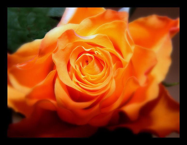 Nur eine Rose....