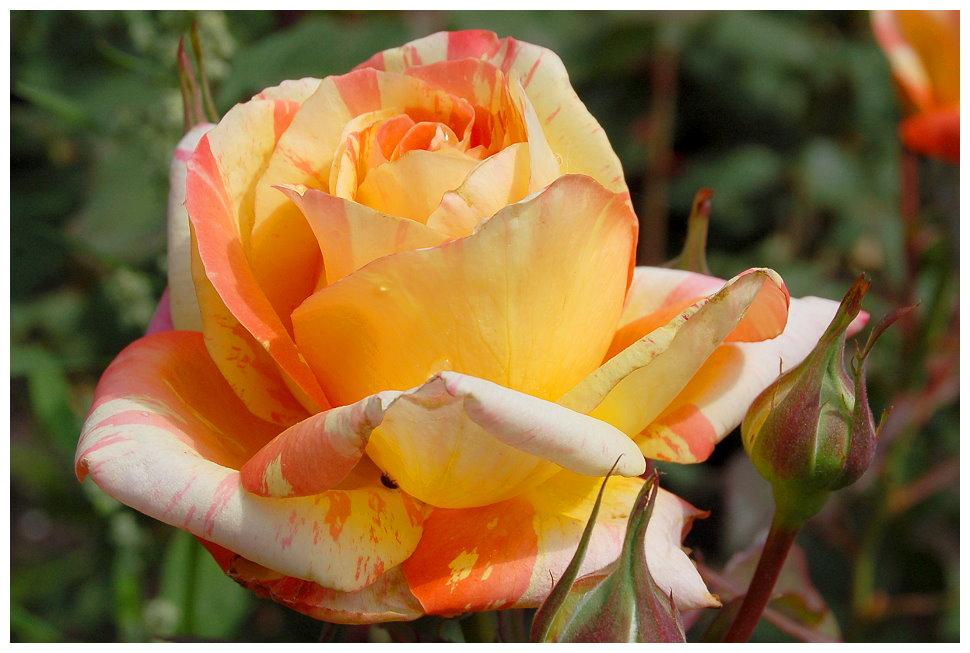 .... nur eine Rose ...
