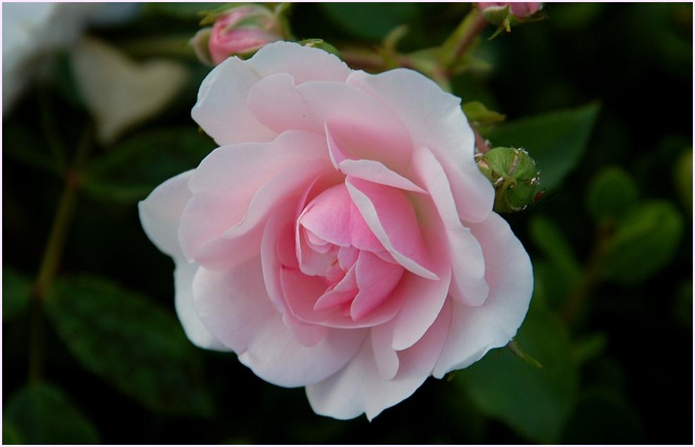 'nur' eine Rose...