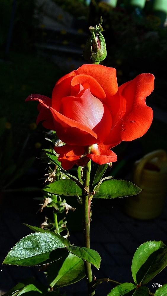 """""""nur"""" eine Rose für die Besucher heute, ob es Freunde sind oder nicht.."""