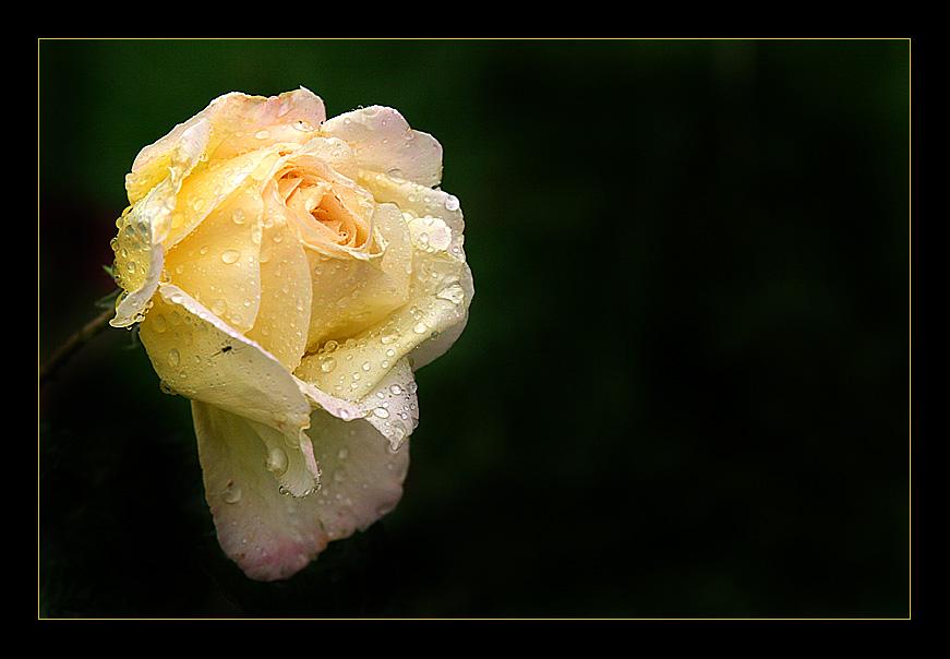 Nur eine Rose - zwei Tage später ...