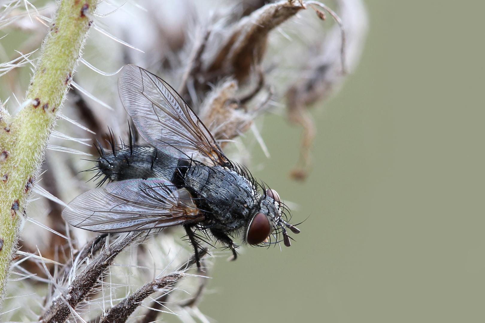 Nur eine schlafende Fliege..