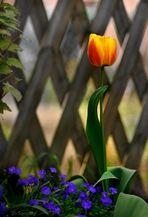 Nur eine Tulpe ...