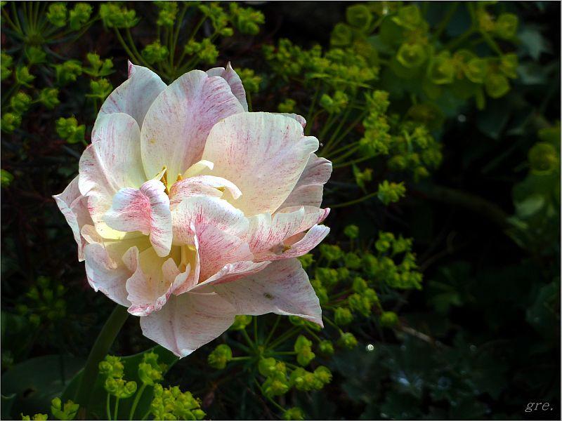 Nur eine Tulpe