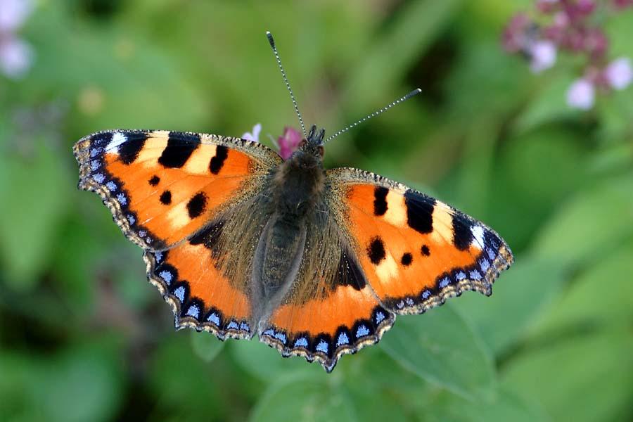 Nur einfach ein Schmetterling...