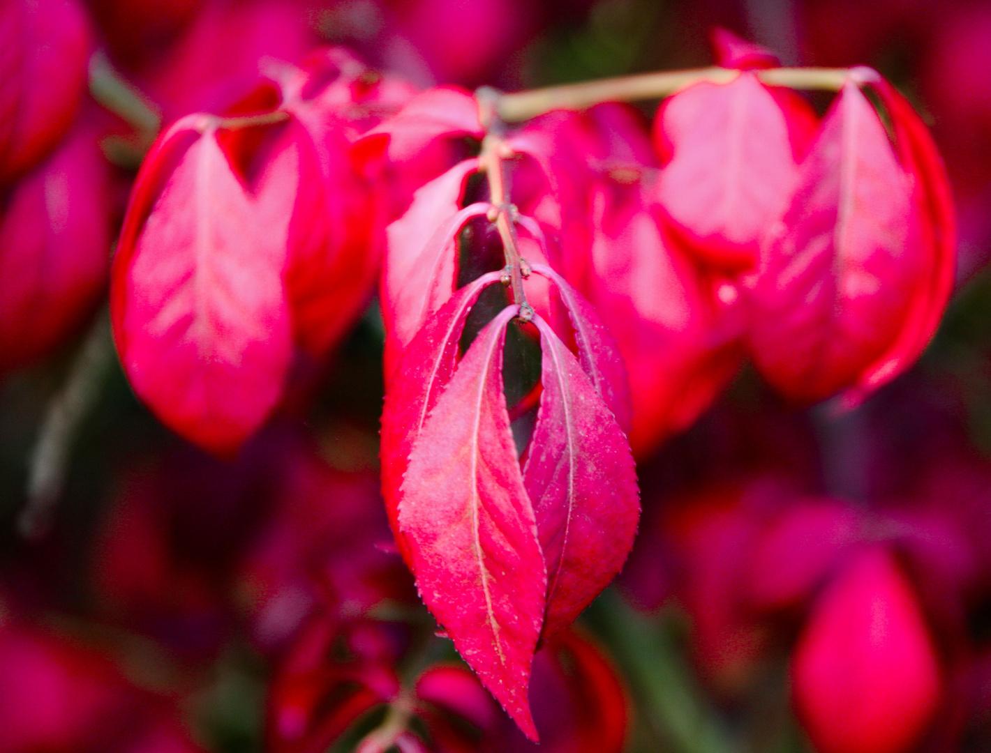 Nur Rote Blätter