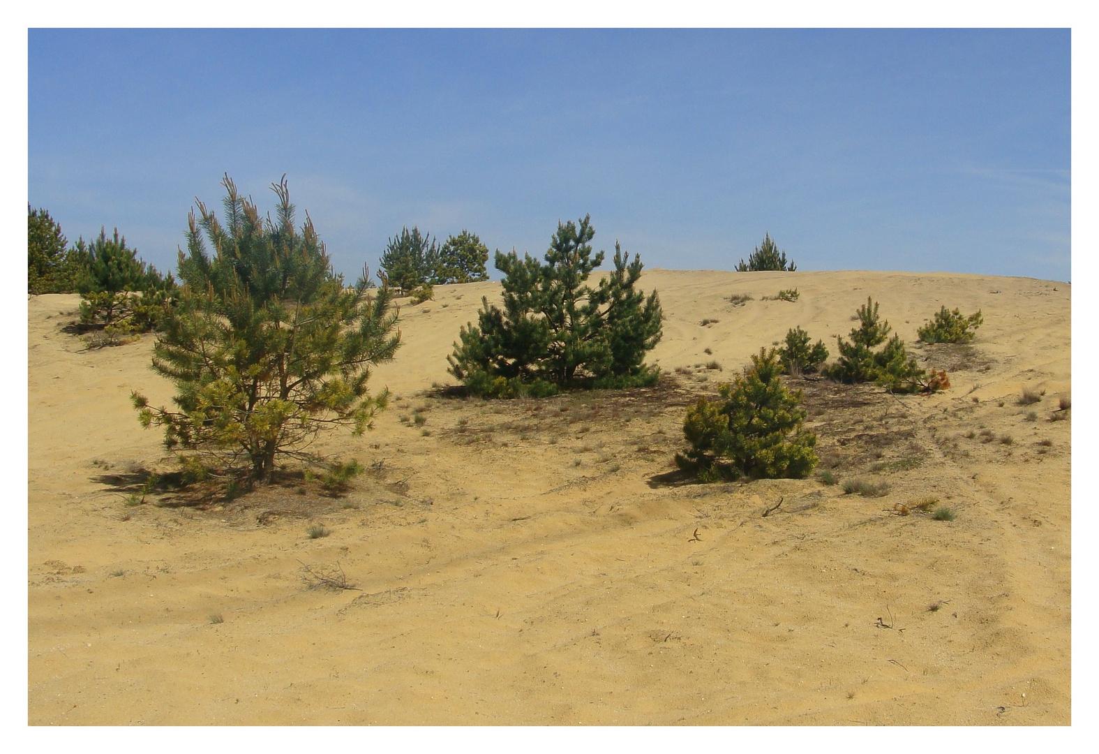 nur Sand und Kiefern