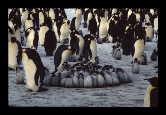 Nurserie de manchots empereurs, Antarctique