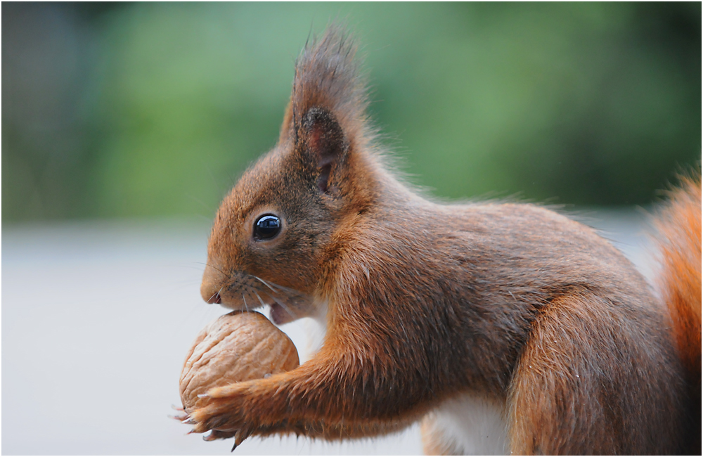 nuss mit eichhörnchen  foto  bild  tiere wildlife