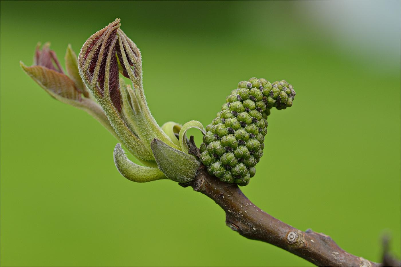 nussbaum bl te foto bild pflanzen pilze flechten bl ten kleinpflanzen natur bilder. Black Bedroom Furniture Sets. Home Design Ideas