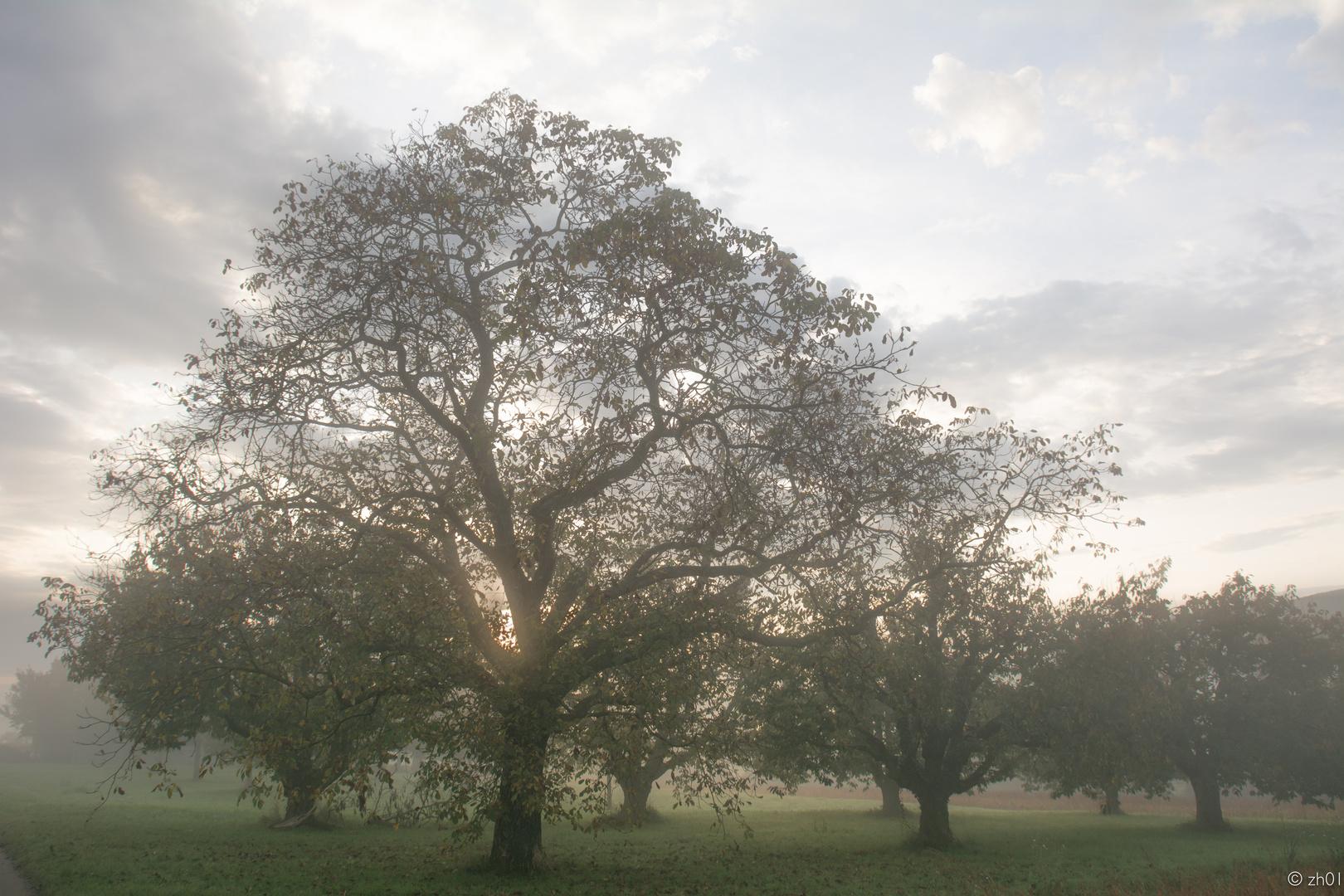 Nussbaum im Morgennebel