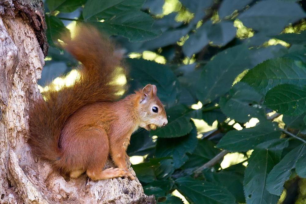 Nusshörnchen