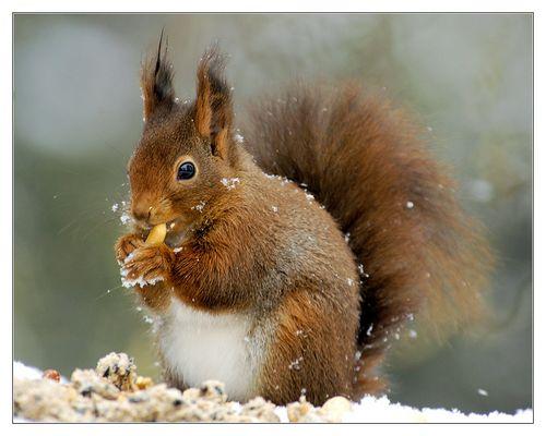 Nusshörnchen...