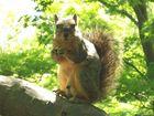 Nut Eater
