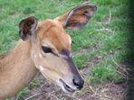 Nyala - Antilope