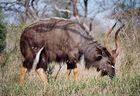 Nyala, Kruger National Park, Afrique du Sud