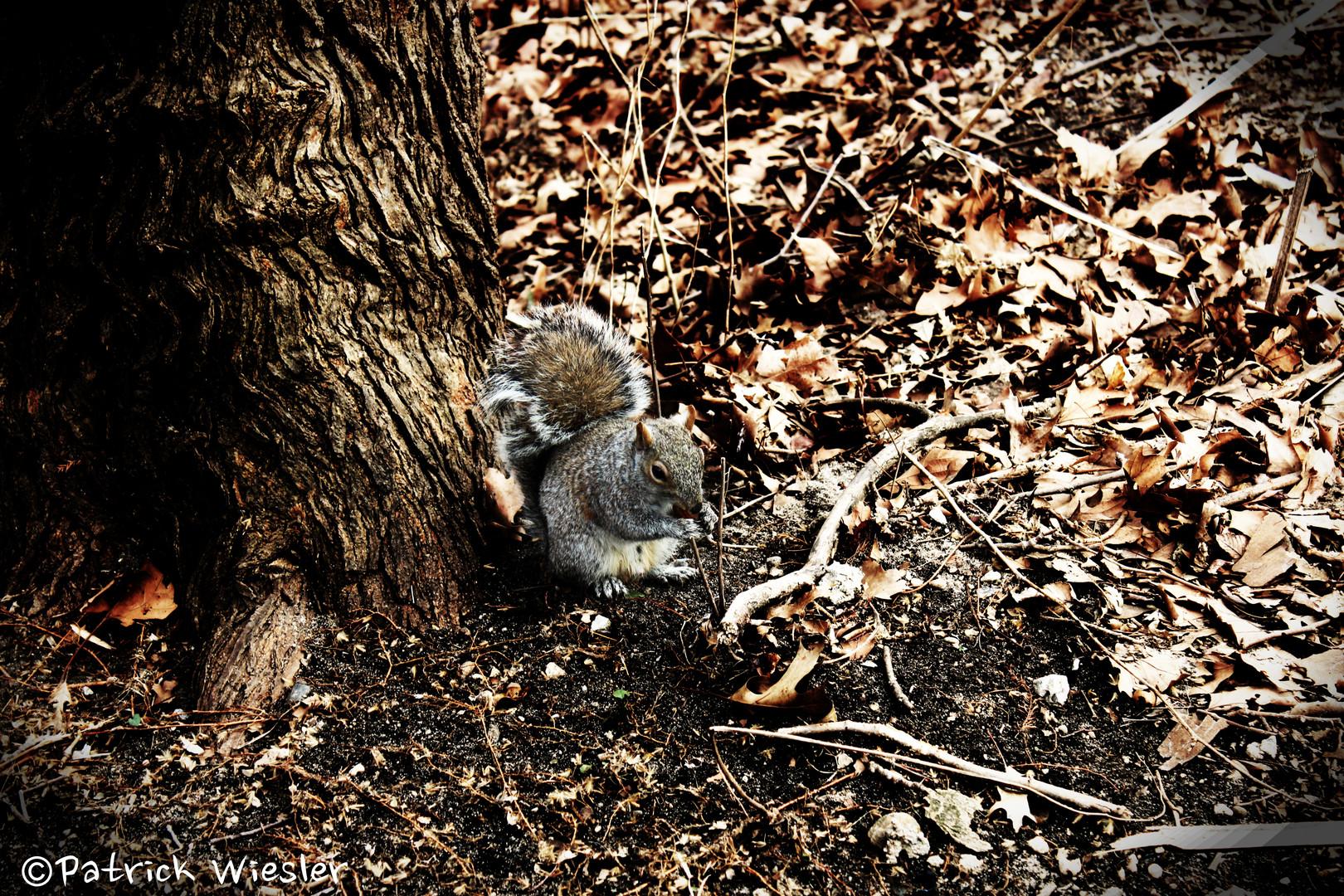 NYC Eichhörnchen