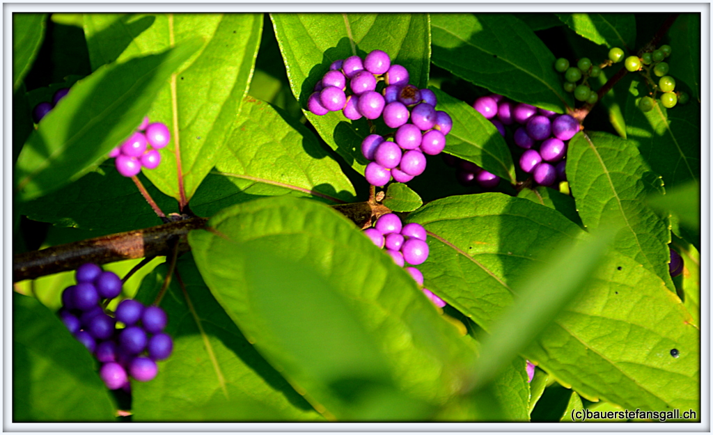 "NYC ""LILA""BeautyBerry"