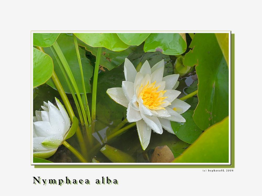 Nymphaea alba_4