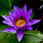 """Nymphaea """" Dr.Moore"""""""