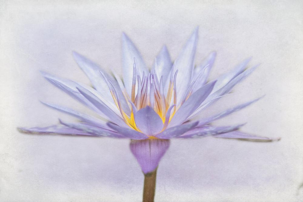 Nymphaeaceae in Flieder