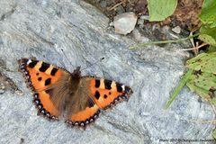Nymphalis polychloros (Vanessa multicolore)