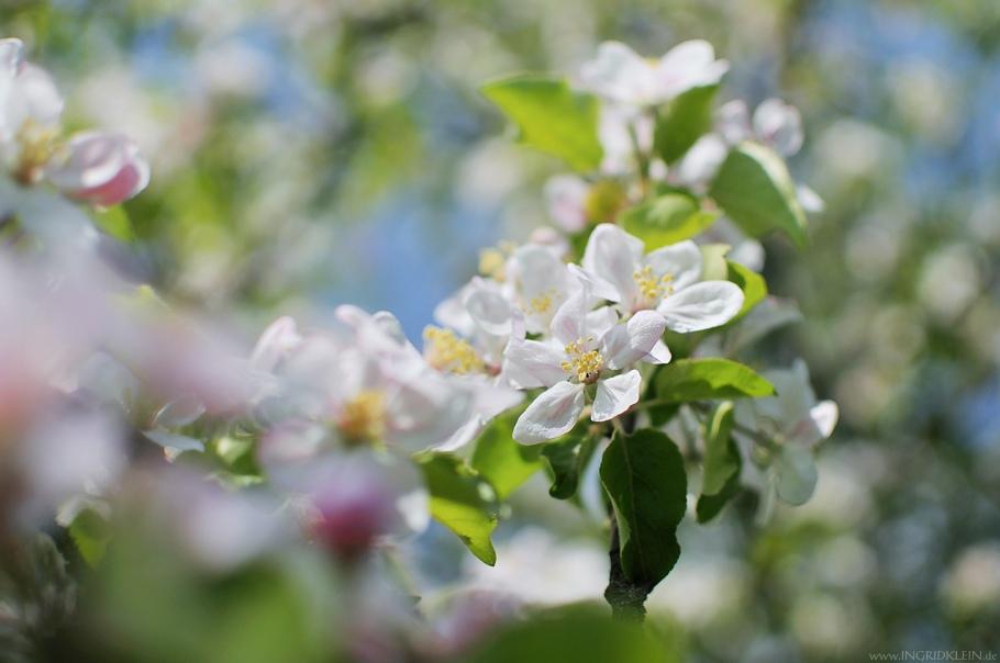 O Apfelbaum