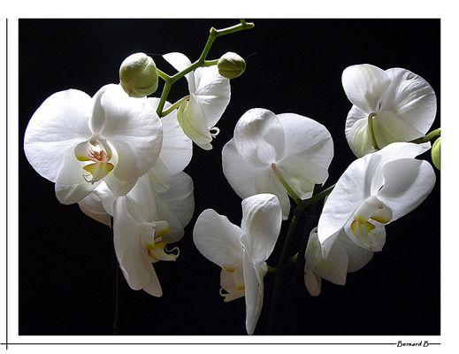 O comme Orchidées