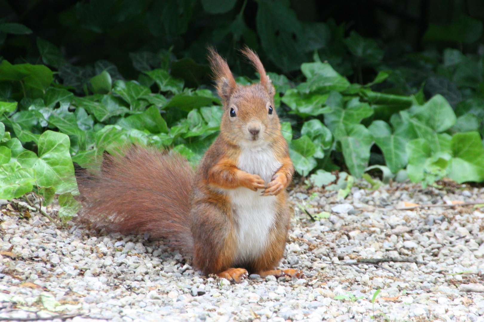 Oachkatzl oder Eichhörnchen
