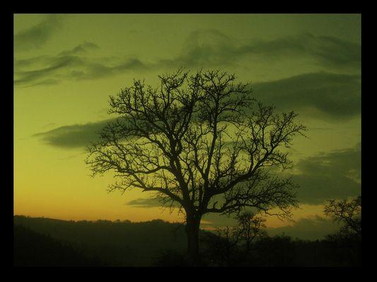 oak-apple