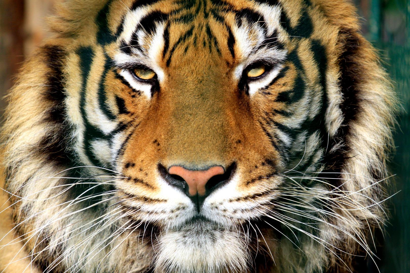 Ob Tiger...