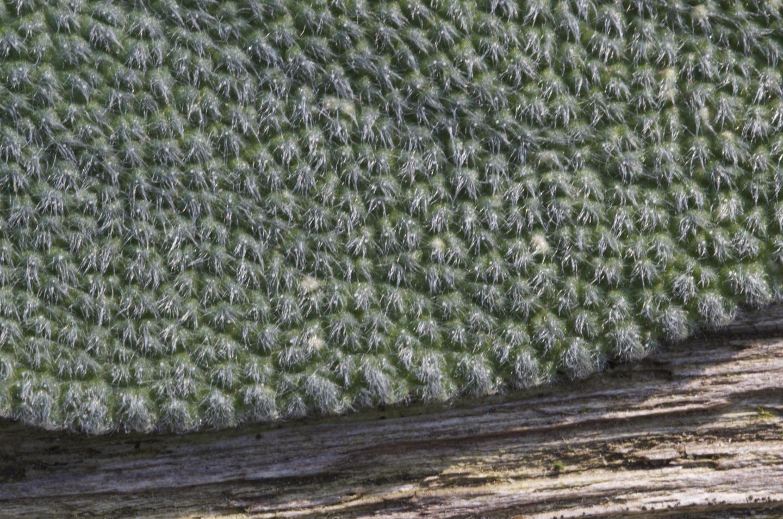 Oberfläche Salbeiblatt