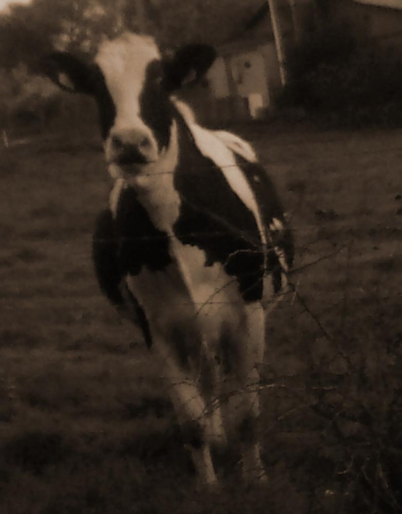 observé par une vache