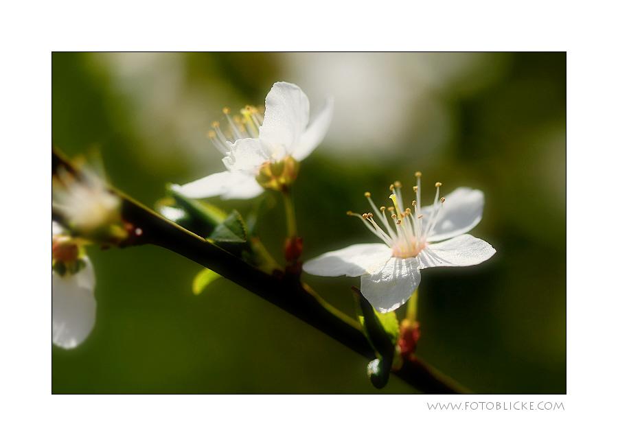Obst Blü Te