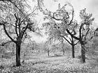 Obstbäume auf einer Frühlingswiese