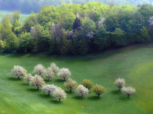 Obstbäume im Frühling (796)