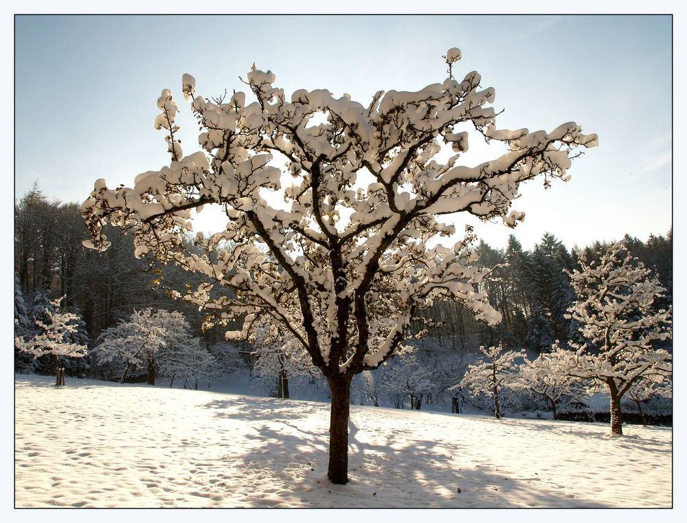 Obstbaum im Gegenlicht ...