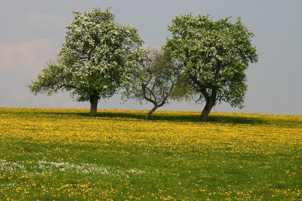 Obstbaum- und Wiesenblüte