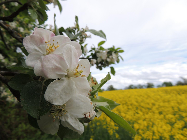 Obstbaumblüten vor dem Rapsfeld