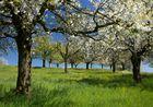 Obstbaumblütewiese
