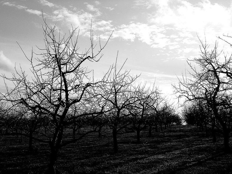 Obstbaumplantage im Winter